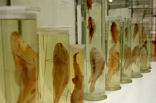 Fish, Wet Specimens lll by Flickr user Curious Expeditions CC-BY-NC-SA 2.0